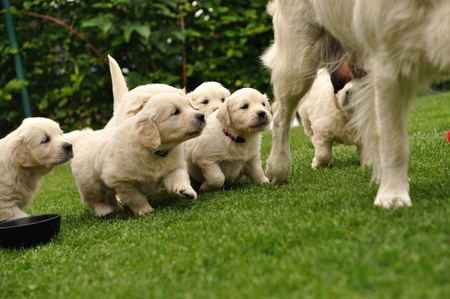 Puppies flocking after their mother Stock Photo - 9611594