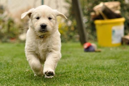 Golden retriever puppy run from front view photo