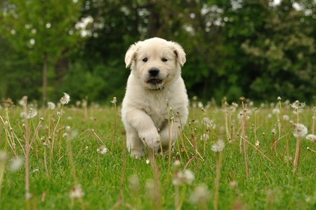 Golden retriever puppy running between dandelions Stock Photo