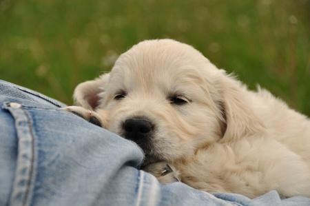 Golden retriever puppy sleeping on jeans photo