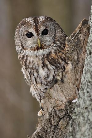 tawny: Tawny Owl in hollow tree Stock Photo