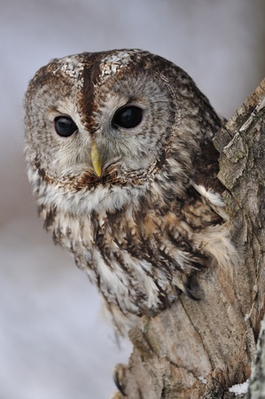 Tawny Owl in hollow tree photo