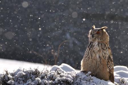Eurasian Eagle Owl sitting on ground when snowing