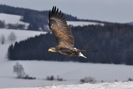White-tailed Eagle flying above the ground Stock Photo