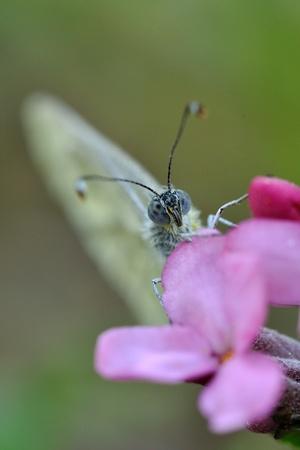 daphne: Mariposa en Daphne cneorum Foto de archivo