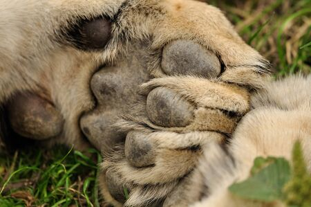 Closeup view on lion paw with pads photo