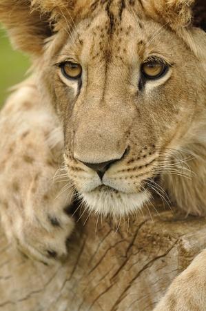 stare: Lion stare Stock Photo