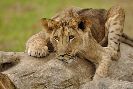 crouched: Closeup view on crouched lion cub lying on the tree trunk