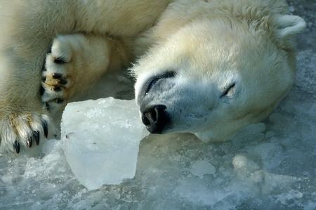 Sleeping polar bear Standard-Bild