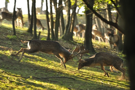 Fallow deers in rut fighting together in wood. photo