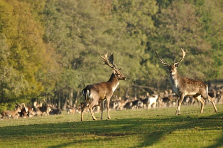 Two fallow deers before herd on green grass.