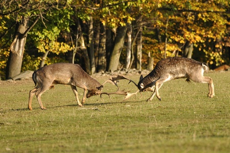 Fighting fallow deers in rut with autumn wood in background photo