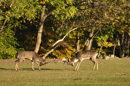 Fighting fallow deers in rut with autumn wood in background Stock Photo - 12445598