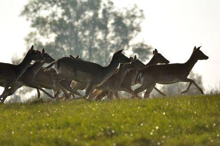 Running deers herd with trees in background photo