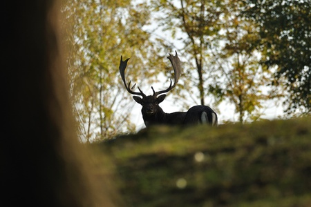 Fallow deer in autumn forrest photo