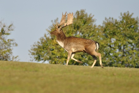 Fallow deer on green grass with trees in background photo