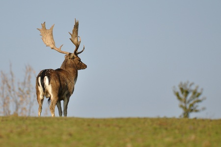 Fallow deer patrol on green grass Stock Photo