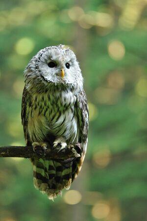 Ural Owl photo