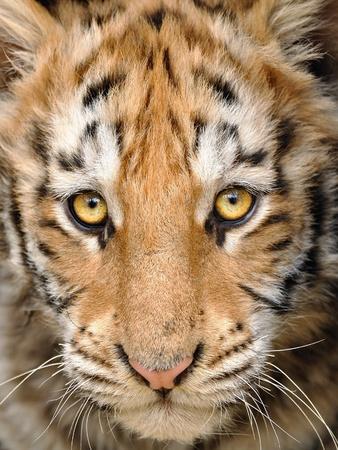 baby tiger: Closeup Uomo tigre testa