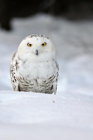 Schnee-Eule sitzt auf dem Schnee Standard-Bild