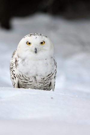 Snowy owl sitting on the snow photo