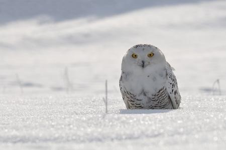 Schnee-Eule sitzt auf dem Schnee