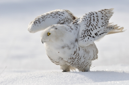 Snowy owl flap wings photo
