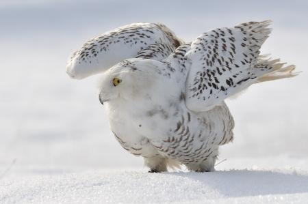 Snowy owl flap wings Stock Photo