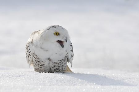 shouting snowy owl photo