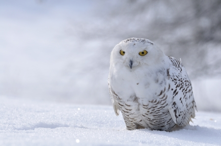 the frosty: snowy owl sitting on the snow
