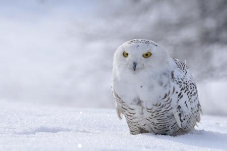snowy owl sitting on the snow photo