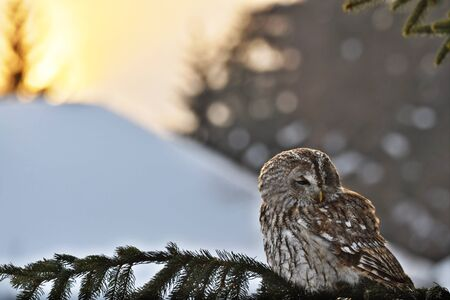 Tawny Owl in winter sunshine photo