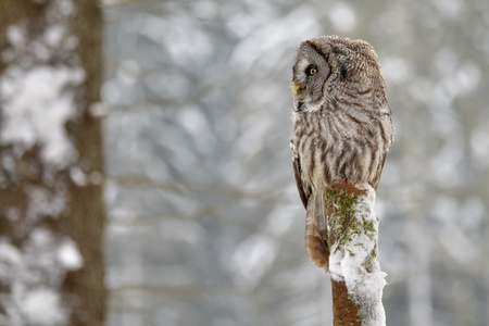 wise owl: Great Grey Owl on tree trunk