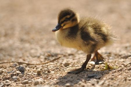 floccus: Walking small mallard or wild duck on brown ground Stock Photo