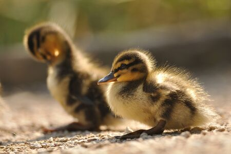floccus: Two small mallards or wild ducks on brown ground from closeup view