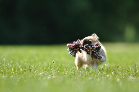 muffle: Chihuahua puppy with rope toy on green grass