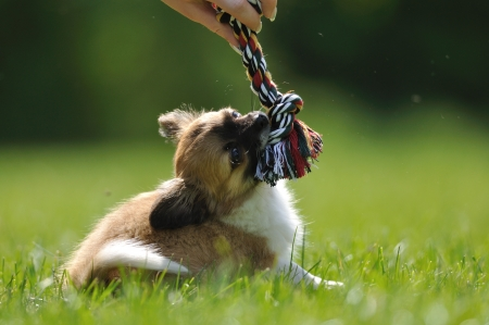 muffle: Chihuahua puppy play game with rope toy in woman hand on a green grass