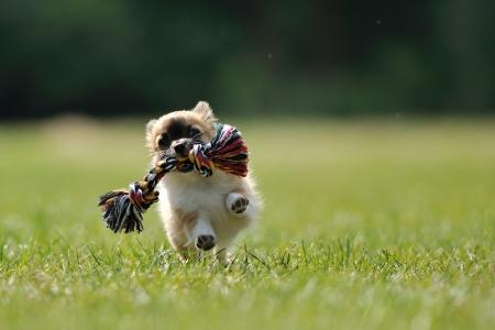 Chihuahua pup te spelen spel met touw speeltje in de vrouw hand op een groen gras