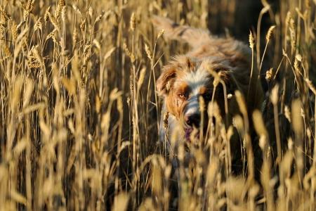 filed: Australian shepard in field of wheat
