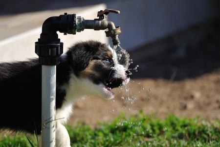 Australian Shepherd puppy drinking from water tap on the garden