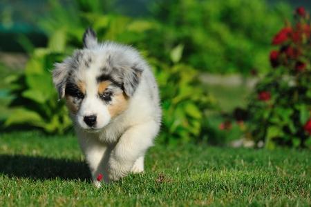 Walking Australian Shepherd puppy from front on the garden