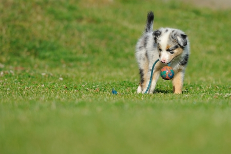 Australian Shepherd aussie puppy playing with toy as ball on rope in the garden Stock Photo