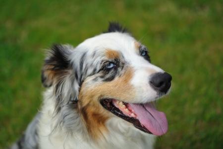 Australian Shepherd aussie portrait on the garden grass