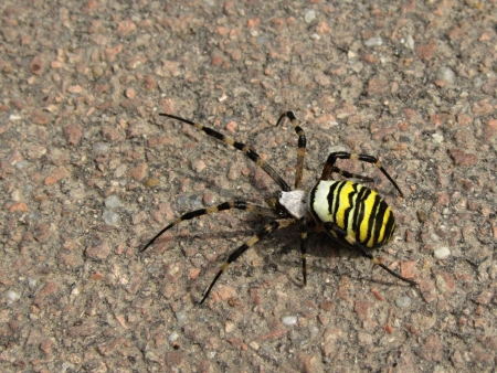 Wasp spider walking on road surface in summer photo