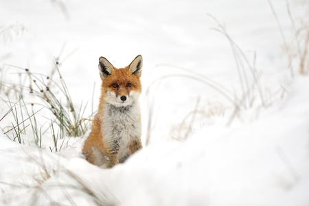 Red fox in the winter on snowy ground