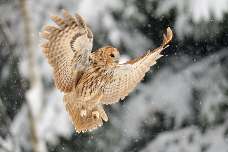 tawny: Landing tawny owl tawny owl in winter time whne is snowing