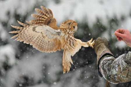 tawny owl: Landing tawny owl on falconrys arm with glove