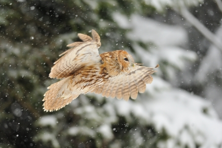 Flying tawny owl in winter time whne is snowing