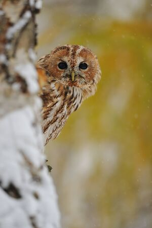 tawny: Courious tawny owl hidding behind tree trunk