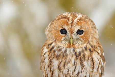 Closeup tawny owl portrait in winter snowy time